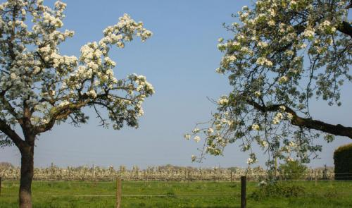 boomgaard in bloei